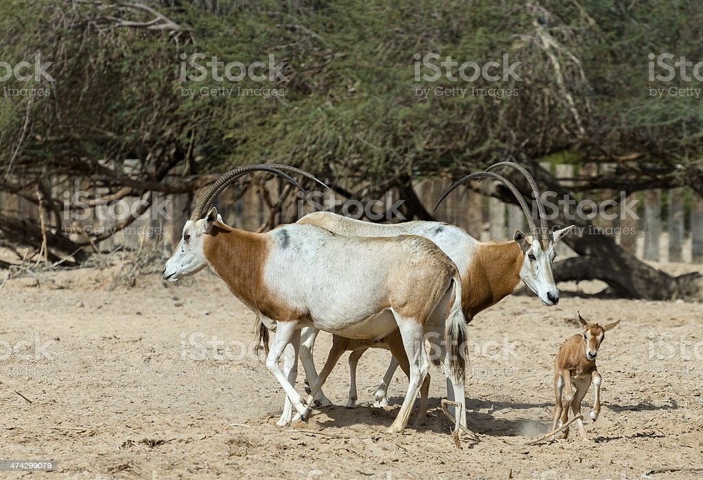 Family of scimitar Oryx in Israeli nature reserve stock photo