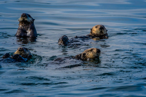 Family of Sea otters floating in the Alaska Inside Passage stock photo