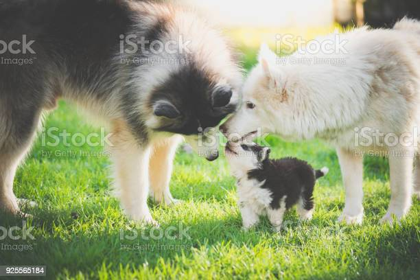 Family of siberian husky dog playing on green grass picture id925565184?b=1&k=6&m=925565184&s=612x612&h=uf3edhfhhbckvaw  hsr8dp73ix qehgyqdcnhtgm2a=