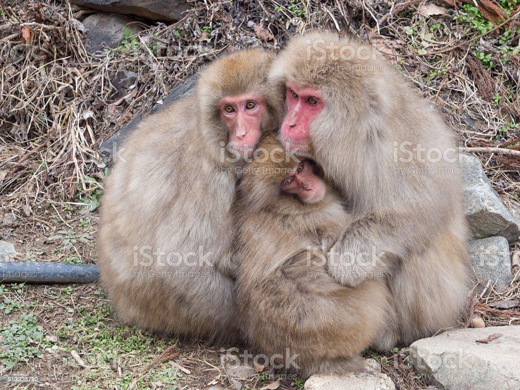 Family of  snow monkeys stock photo