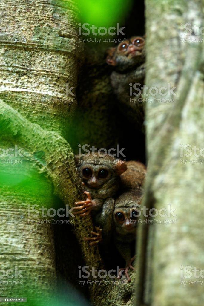 Family of spectral tarsiers, Tarsius spectrum, portrait of rare...