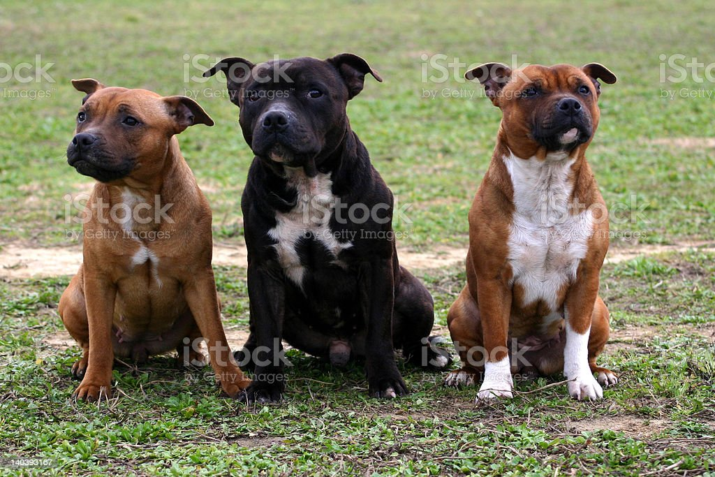 family of staffordshire royalty-free stock photo