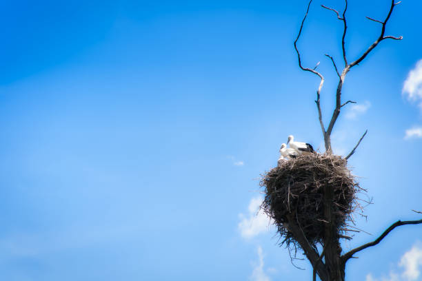 Family of storks in a nest on an old tree against the background of the blue sky. stock photo