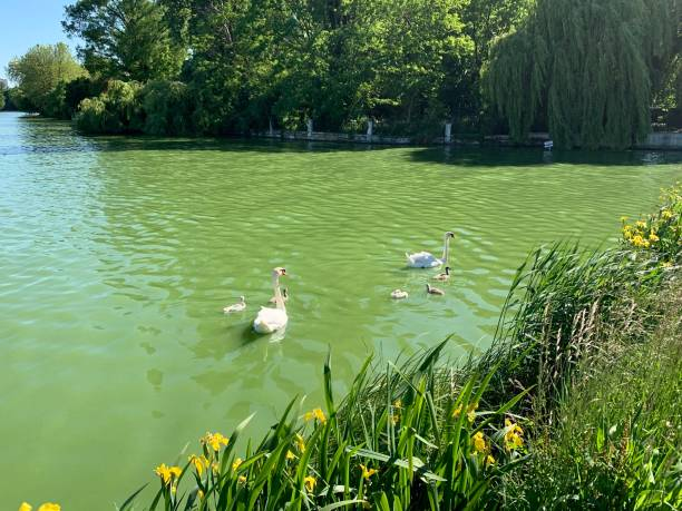 A family of swans and cygnets. stock photo
