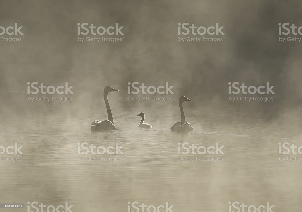 family of swans in a misty morning stock photo