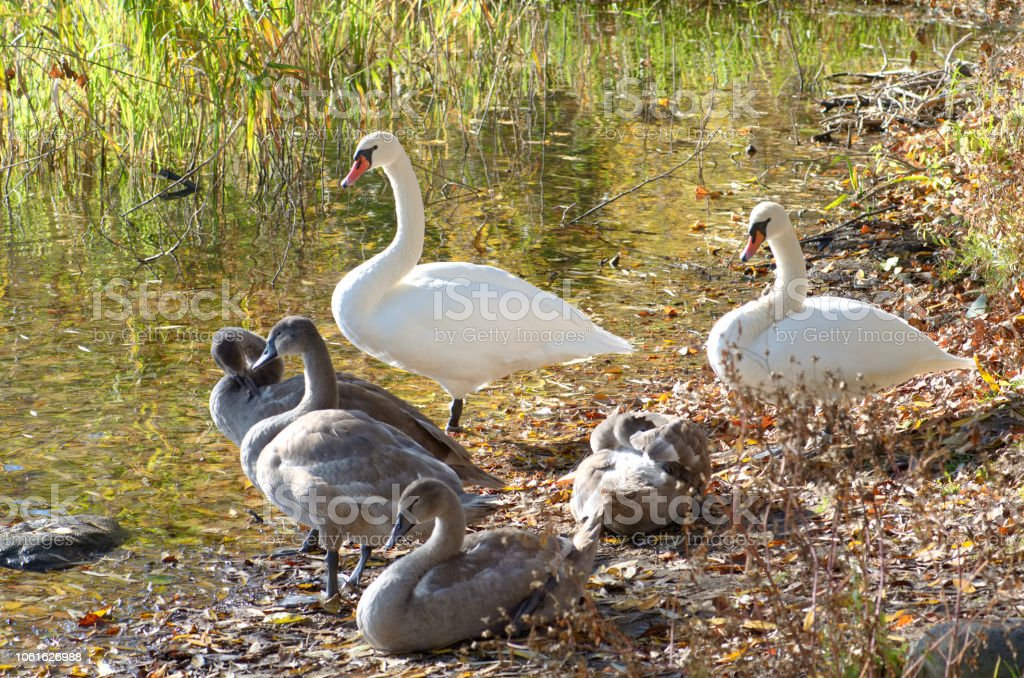 Family of swans stock photo