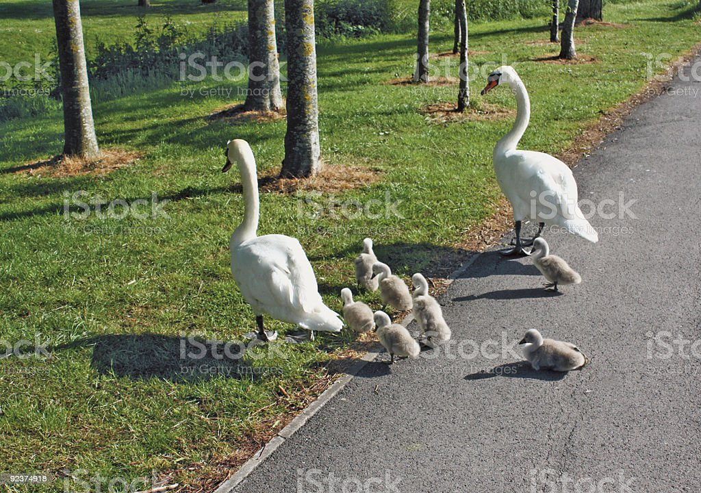 Family of Swans royalty-free stock photo