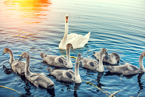 family of swans swimming on the river