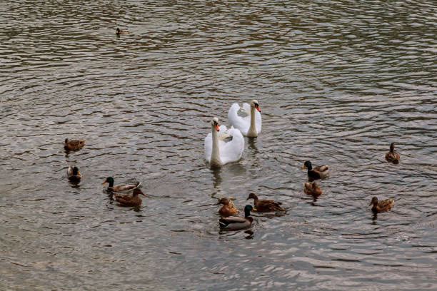 Family of Swans with Cygnets on a Lake stock photo