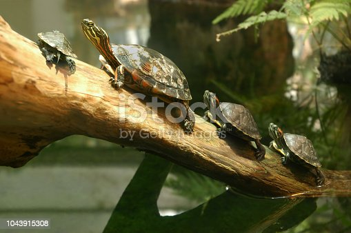 Family of terrapin turtles lined up on a log in their natural habitat