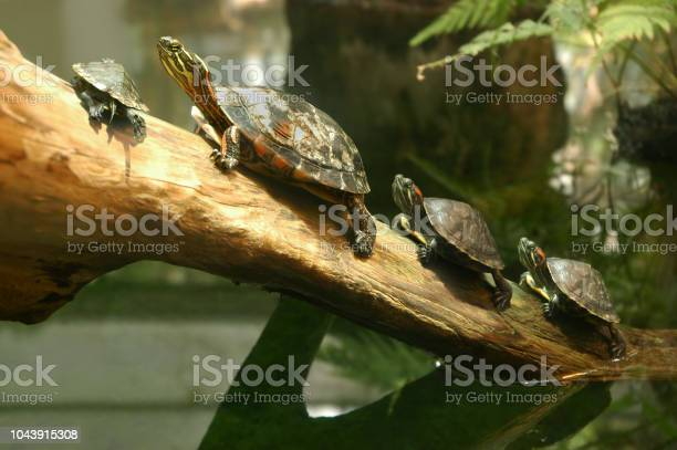 Family of terrapin turtles in their natural habitat picture id1043915308?b=1&k=6&m=1043915308&s=612x612&h=f7ue3txuquvatrhqaqnk8bebkqeiwg9afneoqxwug1i=