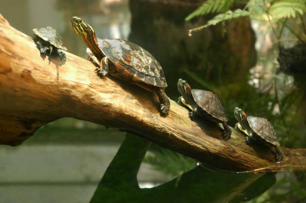 가족 테라핀 거북 자연 거주구 - 파충류 뉴스 사진 이미지