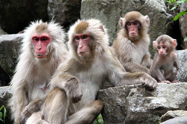 Family of the Japanese monkey ストックフォト