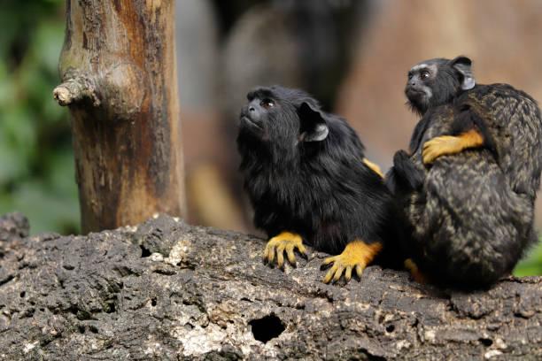 Die rothändige Midas Tamarin Affen-Familie – Foto