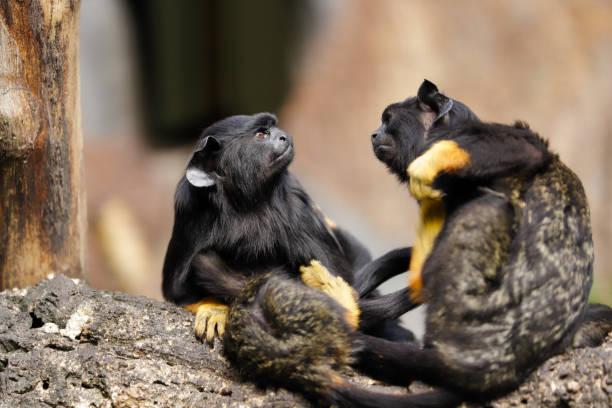 Familie der rothändigen Midas Tamarin-Affen – Foto