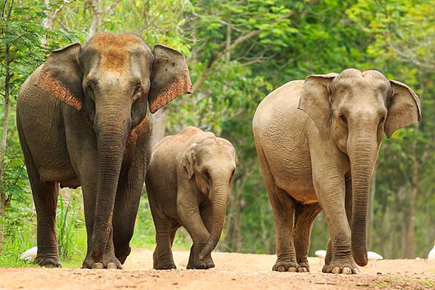 Family of three Asian elephants stock photo