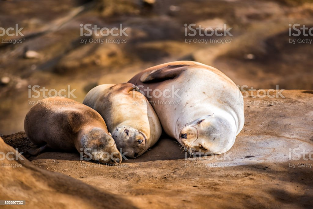 Family of three light, small sea lions sleeping in the sun on a rocky beach in San Diego, California in La Jolla cove smiling happy stock photo