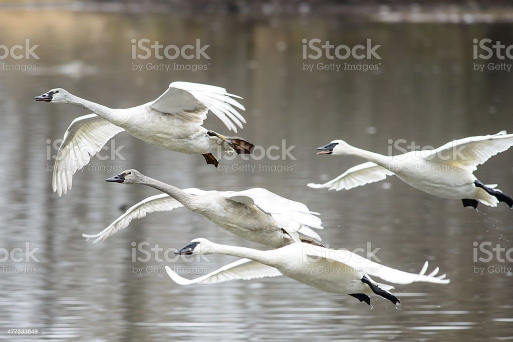 family of trumpeter swans in flight stock photo