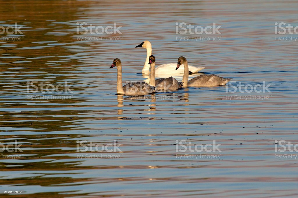 Family of Trumpeter Swans on a lake. stock photo