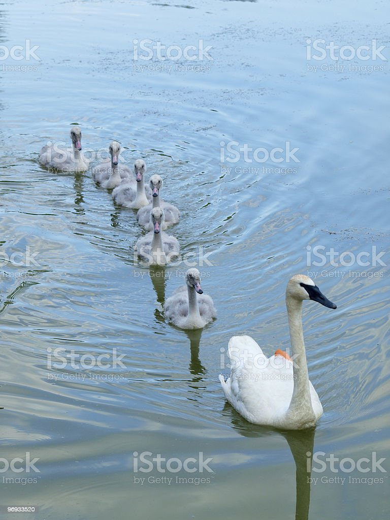 Family of Trumpeter Swans Swimming royalty-free stock photo