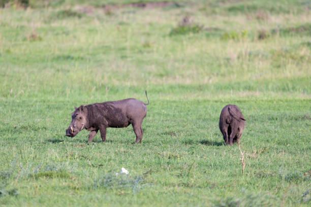 eine familie von warzenschweinen im gras der kenianischen savanne - pig ugly stock-fotos und bilder