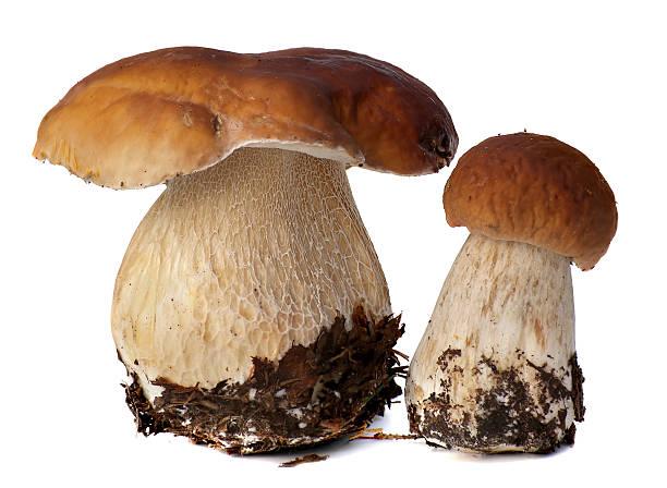 Family of white porcini. Wild Foraged Mushroom selection isolated on stock photo