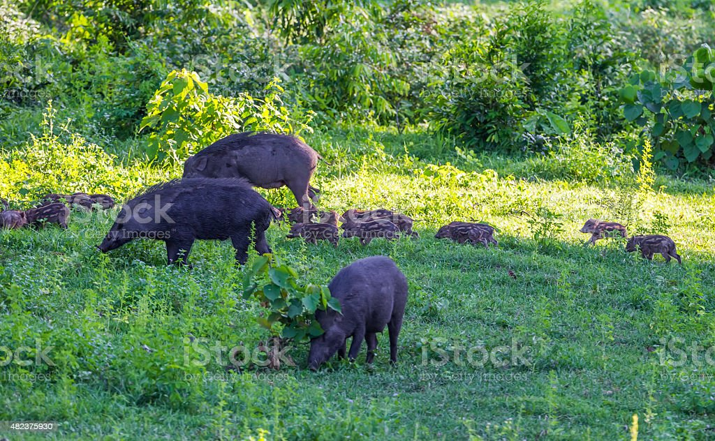 Family of Wild boar(Sus scrofa) stock photo