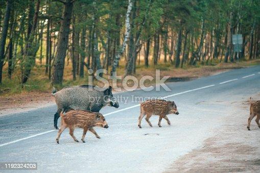 Wild boars in summer