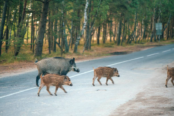 Family of wild boars crossing road