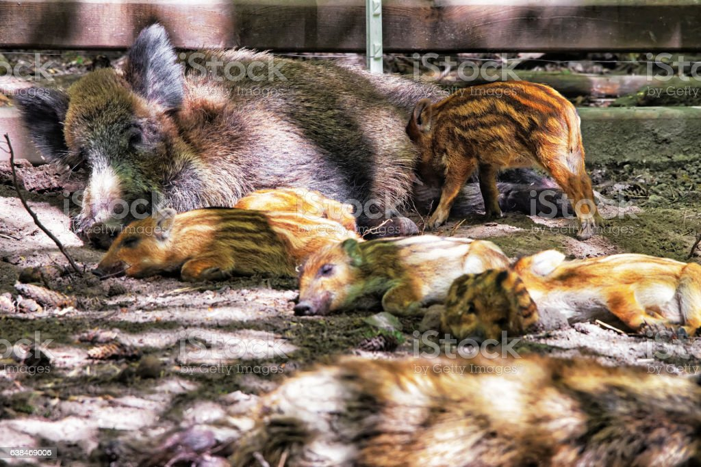 Family of Wild boars in Bialowieza National Park of Poland stock photo