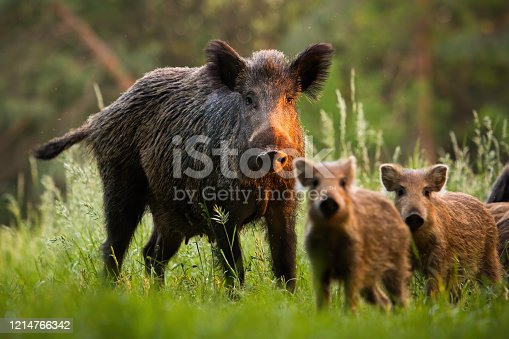 istock Family of wild boars with young piglets on summer meadow at sunset 1214766342