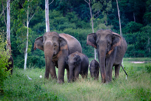 Family of wild Elephants  in forest – Foto