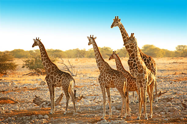 Family of Wild Giraffes in Etosha NP Namibia Africa stock photo