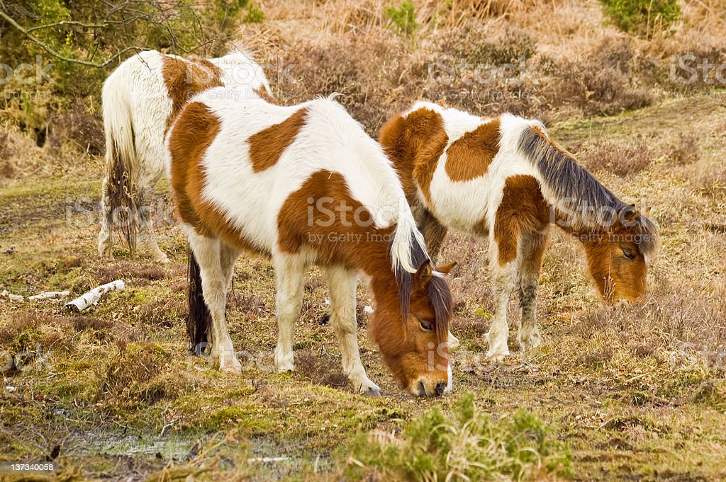 Family of wild new forest ponies royalty-free stock photo