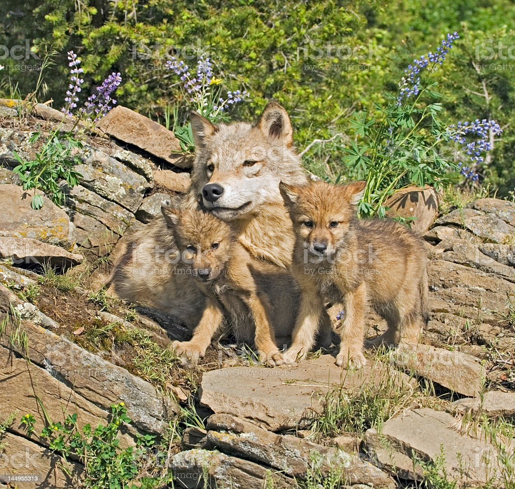 A family of wolves with small cubs stock photo