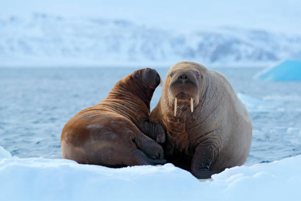 Family on cold ice. Walrus, Odobenus rosmarus, stick out from blue water on white ice with snow, Svalbard, Norway. Mother with cub. Young walrus with female. Winter Arctic landscape with big animal. stock photo