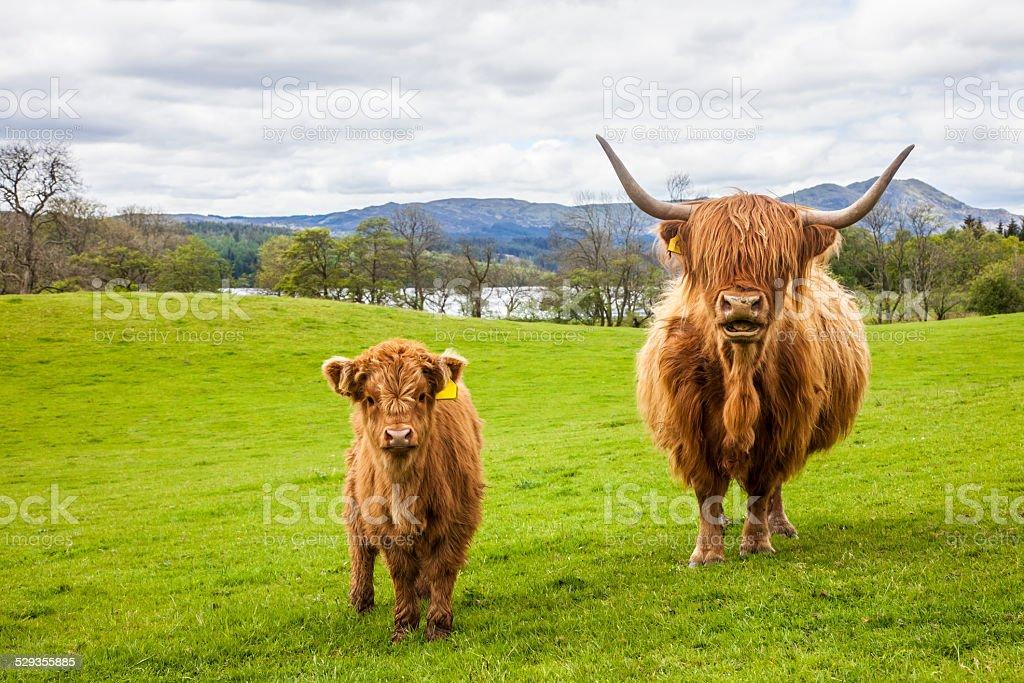 Famille sur Prairie-Écosse de veau et vache - Photo