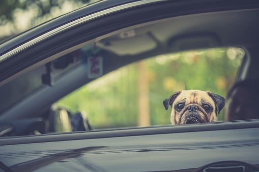 Family Outing in Car and taking an excited but calm Pug Dog with them. Travel with family pets owner after Global pandemic COVID-19