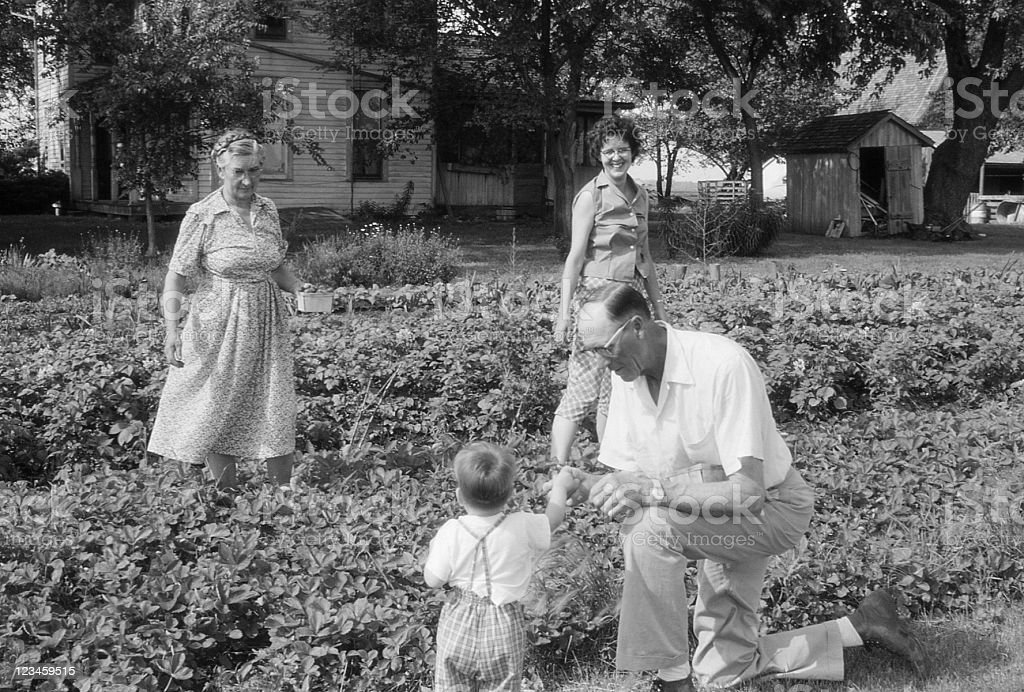 family picking strawberries 1960, retro stock photo