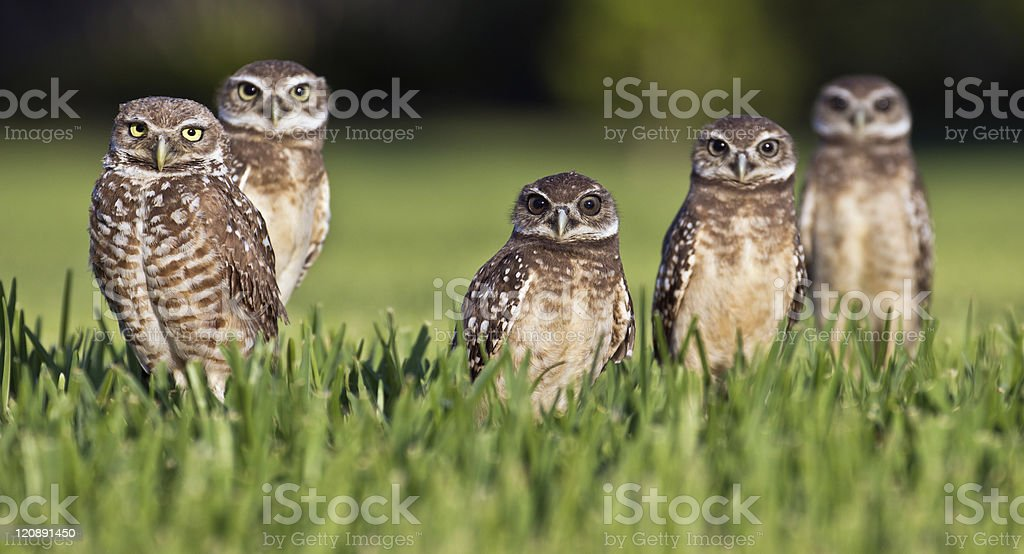 A family picture of five owls outside stock photo