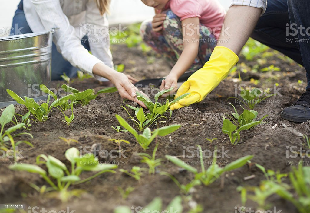 Family planting spinach. Close up. stock photo