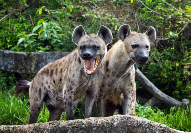 familie gevlekte hyena's in het wild. - hyena stockfoto's en -beelden