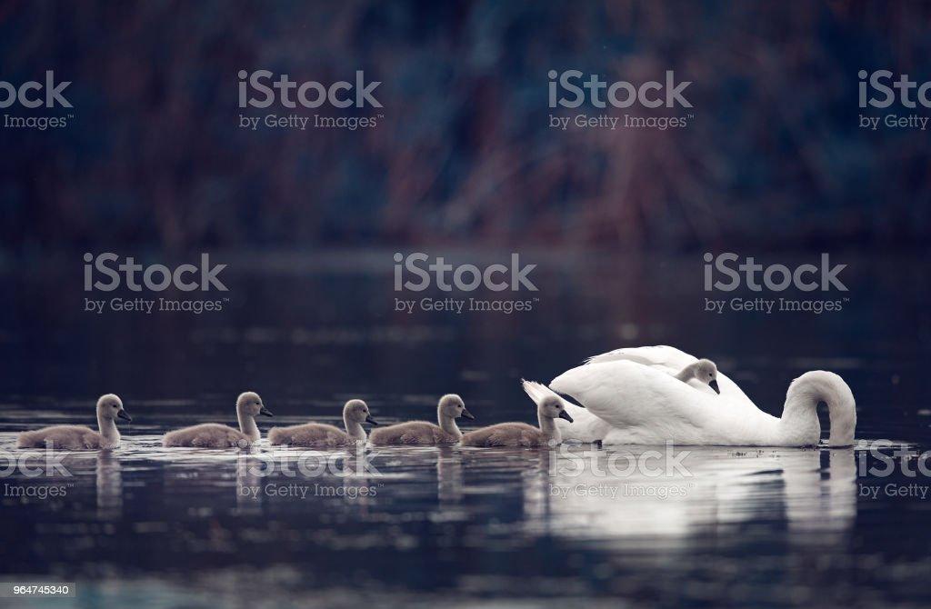 family swan background royalty-free stock photo