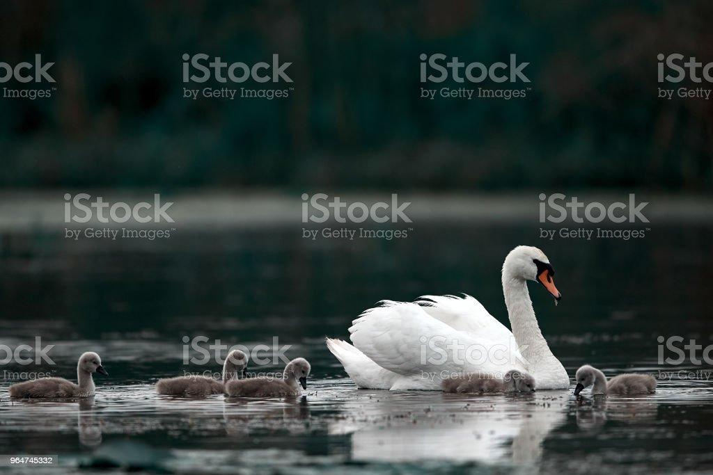 family swan in Danube river royalty-free stock photo