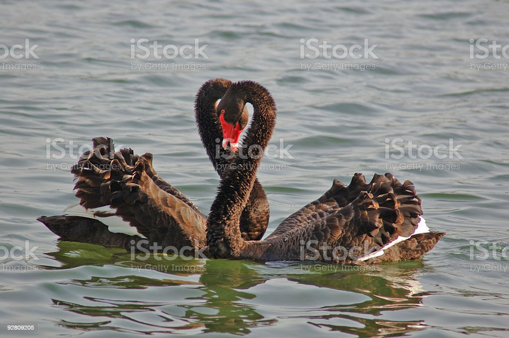 Family Swan #6 royalty-free stock photo