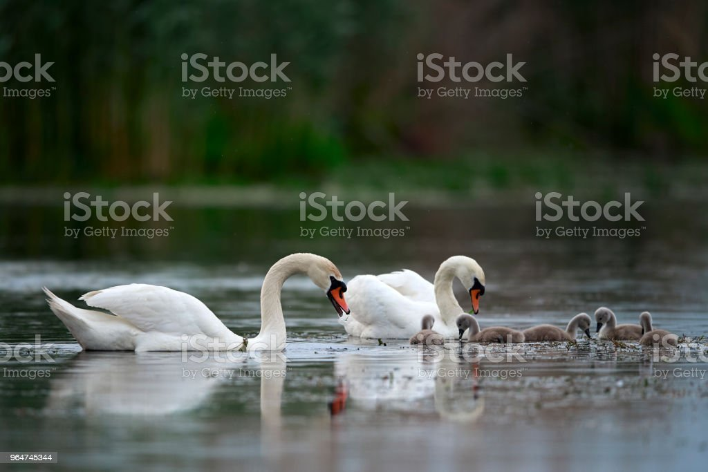 family swan royalty-free stock photo
