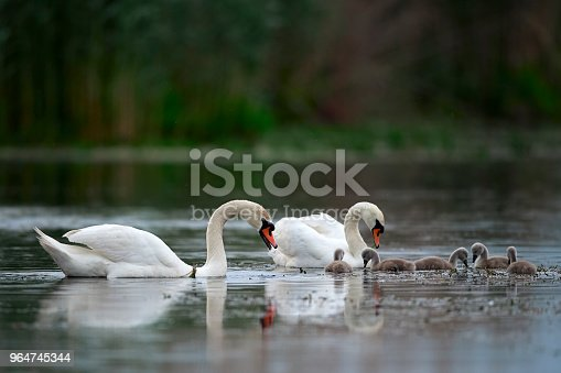Family Swan Stock Photo & More Pictures of Animal