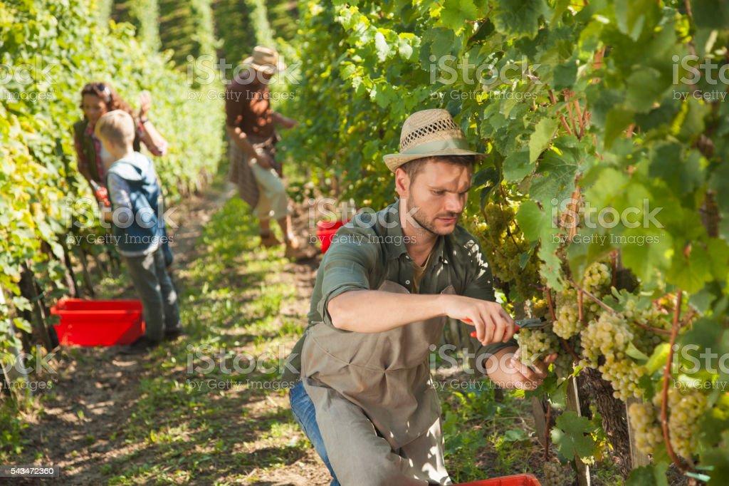 Family vineyard harvest stock photo