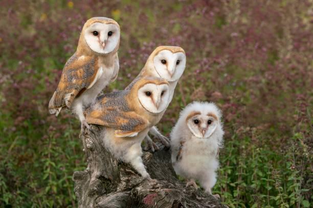 Family western barn owl sitting on a stump picture id1171939835?b=1&k=6&m=1171939835&s=612x612&w=0&h=mfowpnu164qa7r9wqi dog4ffw2zjtwhq5hr68cyfb4=
