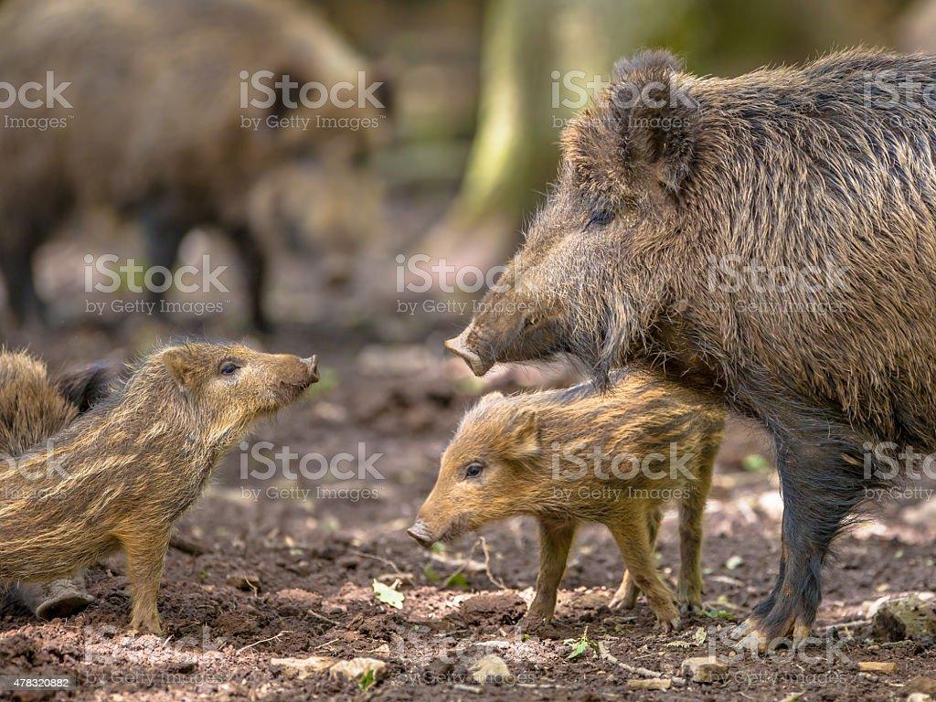 Family Wild Boar stock photo
